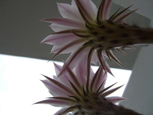 Below Two Cactus Flowers