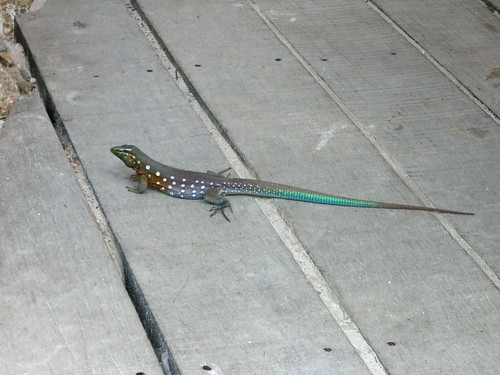 Blue tail