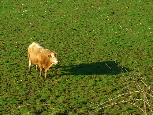 Cow Shadow