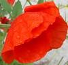 Storm-beaten poppies