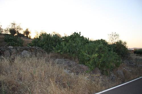 Roadside Cactus
