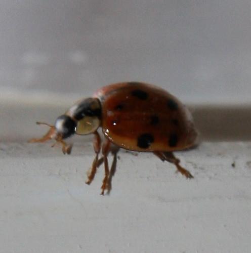 Ladybug Visitor