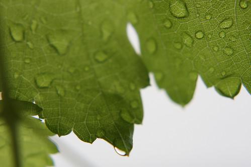Rain on grapevine leaves