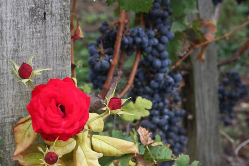 Vineyard Rose