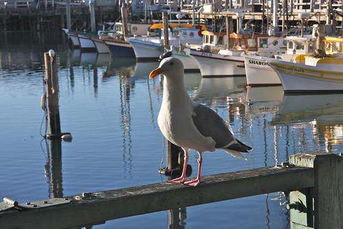 Wharf Gull
