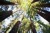 Muir Woods - Redwoods