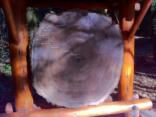 Muir Woods - Redwoods History Rings