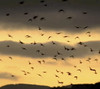 Sunset Flock (thumbnail)