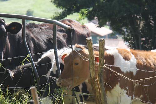 Cows in Colindres de Arriba