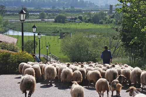 Sheep - Colindres de Arriba
