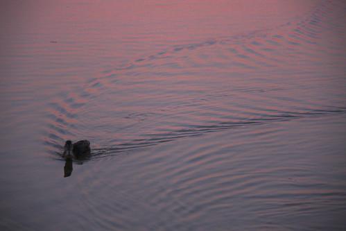 Ducks at Dusks