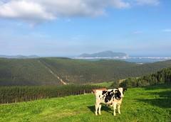 Cantabrian Cow