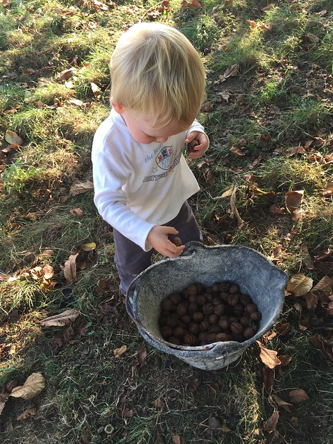 Collecting Walnuts