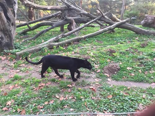 Black Panther at Karpin Abentura